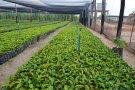 Governo faz licitação para a compra de três milhões de mudas de café em Rondônia