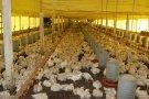 Custos de produção de suínos e frangos de corte caem em agosto