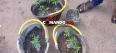 Jovem é conduzido para a delegacia cultivando 13 pés de maconha nos fundos de casa
