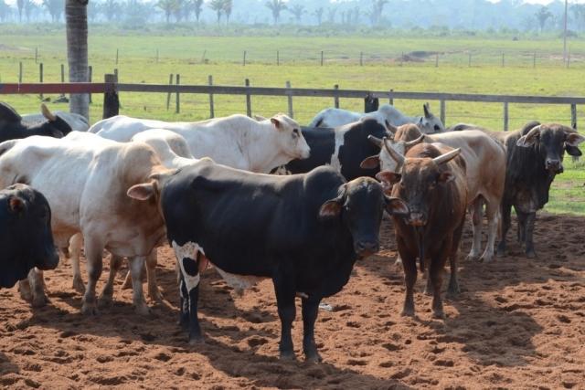 Vacinação contra febre aftosa começa no domingo em Rondônia; produtores têm até 22 de novembro para declarar