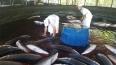 Rondônia inicia venda de pirarucu criado em cativeiro para outros estados