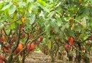 Produção de cacau em Rondônia será recuperada