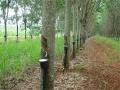 Extrativistas de borracha natural em Rondônia serão vistoriados pela Conab