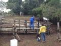 Equipes da Idaron vacinam gado boliviano de propriedades localizadas às margens do rio Guaporé