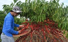 Renovação do parque cafeeiro promove transformação no campo