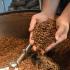 Semagric fomenta cultivo do café clonal e aponta perspectivas de mercado