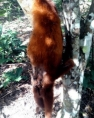 Macaco é achado morto em propriedade rural de Ouro Preto do Oeste
