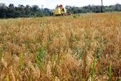 Safra de arroz tem aumento de produtividade em Rondônia