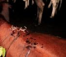 Rondônia registra três casos de raiva em 2017 e Idaron alerta para riscos do ataque de morcegos
