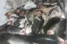 Polícia Ambiental prende dupla com mais de duas toneladas de pescado na BR-364