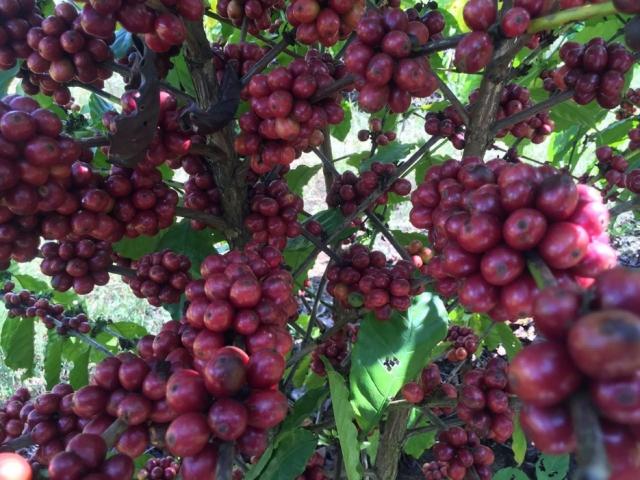 Inscrições para concurso de qualidade do café seguem até dia 31 de julho