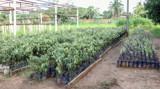 Viveiro de Ji-Paraná está com mais de 50 mil mudas prontas para doação