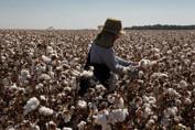 Rondônia é o terceiro maior produtor de algodão na Região Norte