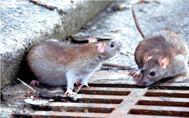 Dois casos de leptospirose são confirmados em Rolim de Moura