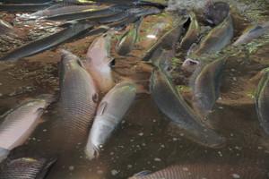 Governo libera pesca do pirarucu em Rondônia, mas pescadores precisam seguir regras; Confira