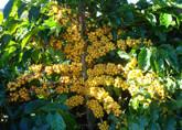 Estudos genéticos selecionam variedade de café arábica para a região Amazônica