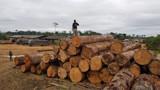 Ibama doa para vários órgãos, grande quantidade de madeira apreendida em operação da PF