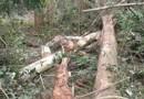 Três trabalhadores morrem esmagados por árvores em distritos de Porto Velho