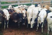 Caseiro de fazenda é preso suspeito de furtar 40 novilhas